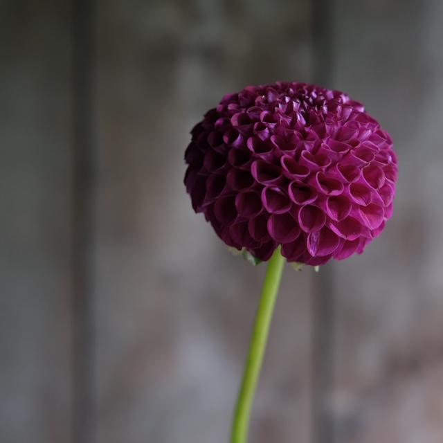 Aurwen's Violet