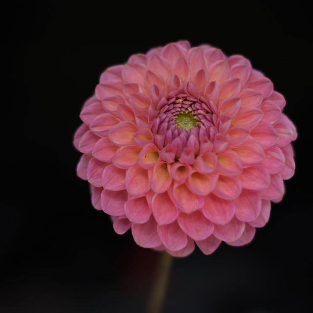 Hamari Rose